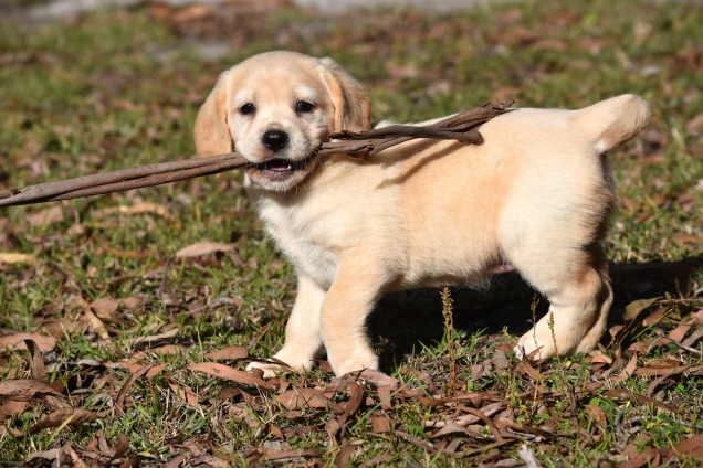 This cute Cavador pup has found something fun to chew!