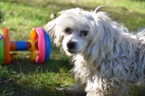 Marvin-Maltese-Banksia Park Puppies - 1 of 21