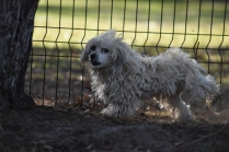 Marvin-Maltese-Banksia Park Puppies - 10 of 21