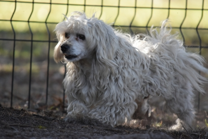 Marvin-Maltese-Banksia Park Puppies - 12 of 21