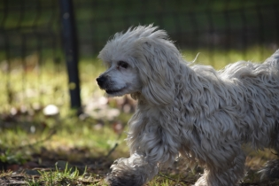 Marvin-Maltese-Banksia Park Puppies - 15 of 21