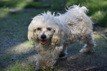 Marvin-Maltese-Banksia Park Puppies - 19 of 21