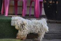 Marvin-Maltese-Banksia Park Puppies - 2 of 21