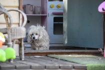 Marvin-Maltese-Banksia Park Puppies - 5 of 21