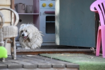 Marvin-Maltese-Banksia Park Puppies - 6 of 21
