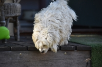 Marvin-Maltese-Banksia Park Puppies - 7 of 21