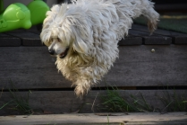 Marvin-Maltese-Banksia Park Puppies - 8 of 21