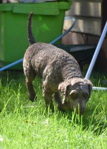 ALVIN - Bankisa park puppies - 1 of 16 (11)