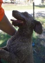 ALVIN - Bankisa park puppies - 1 of 16 (4)