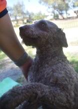ALVIN - Bankisa park puppies - 1 of 16 (5)