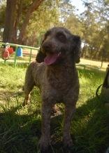 ALVIN - Bankisa park puppies - 1 of 16 (6)