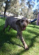 ALVIN - Bankisa park puppies - 1 of 16