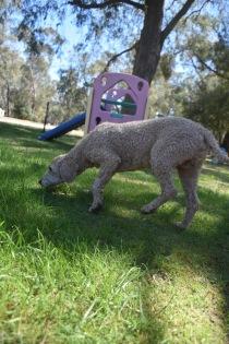 KIP- Bankisa park puppies - 1 of 19 (1)