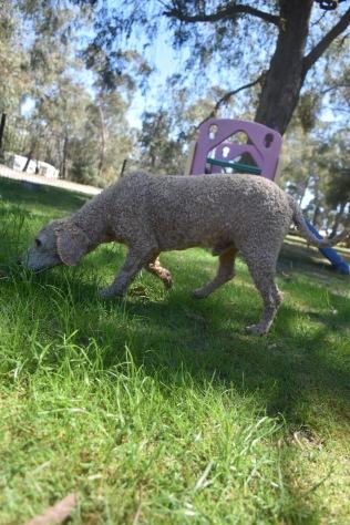KIP- Bankisa park puppies - 1 of 19 (10)