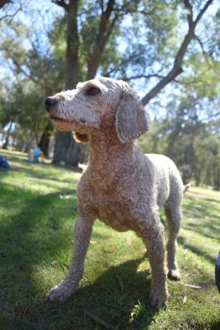 KIP- Bankisa park puppies - 1 of 19 (11)