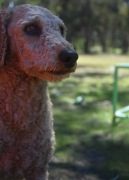 KIP- Bankisa park puppies - 1 of 19 (12)