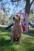 KIP- Bankisa park puppies - 1 of 19 (14)