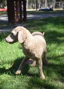 KIP- Bankisa park puppies - 1 of 19 (16)
