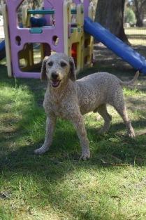 KIP- Bankisa park puppies - 1 of 19 (3)