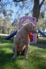 KIP- Bankisa park puppies - 1 of 19 (6)