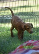 KYLE- Bankisa park puppies - 1 of 17 (14)
