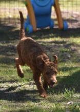 KYLE- Bankisa park puppies - 1 of 17 (5)