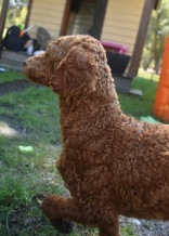 KYLE- Bankisa park puppies - 1 of 17 (7)