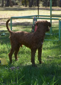 KYLE- Bankisa park puppies - 1 of 17 (9)