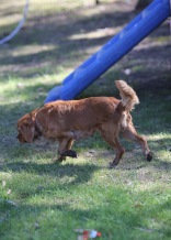 PEACHES - bankisa park puppies - 1 of 28 (7)
