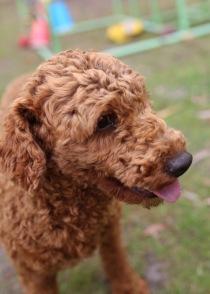 KOBIE - bankisa park puppies - 1 of 61 (1)