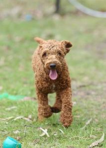 KOBIE - bankisa park puppies - 1 of 61 (10)