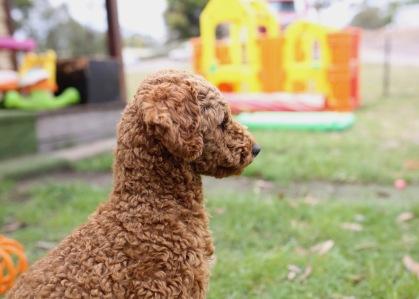 KOBIE - bankisa park puppies - 1 of 61 (16)