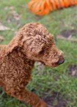 KOBIE - bankisa park puppies - 1 of 61 (18)