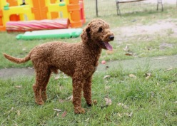 KOBIE - bankisa park puppies - 1 of 61 (23)