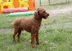 KOBIE - bankisa park puppies - 1 of 61 (24)