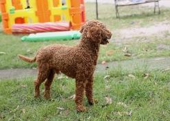 KOBIE - bankisa park puppies - 1 of 61 (25)