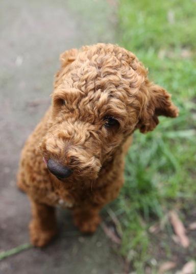 KOBIE - bankisa park puppies - 1 of 61 (26)