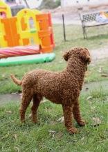 KOBIE - bankisa park puppies - 1 of 61 (27)