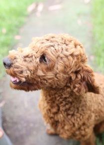 KOBIE - bankisa park puppies - 1 of 61 (33)
