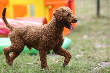 KOBIE - bankisa park puppies - 1 of 61 (39)