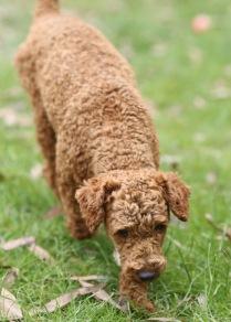 KOBIE - bankisa park puppies - 1 of 61 (4)