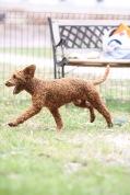 KOBIE - bankisa park puppies - 1 of 61 (42)