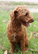KOBIE - bankisa park puppies - 1 of 61 (43)