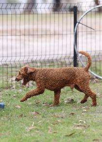 KOBIE - bankisa park puppies - 1 of 61 (44)