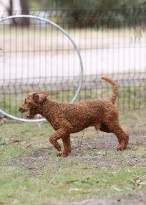 KOBIE - bankisa park puppies - 1 of 61 (45)