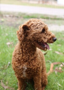 KOBIE - bankisa park puppies - 1 of 61 (46)