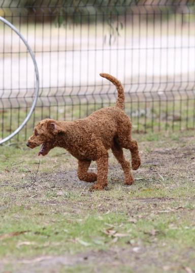 KOBIE - bankisa park puppies - 1 of 61 (47)