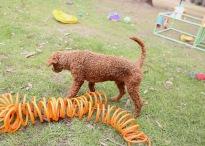 KOBIE - bankisa park puppies - 1 of 61 (52)