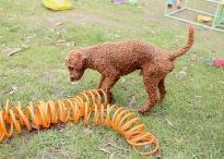 KOBIE - bankisa park puppies - 1 of 61 (53)
