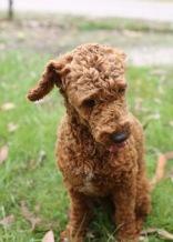 KOBIE - bankisa park puppies - 1 of 61 (55)